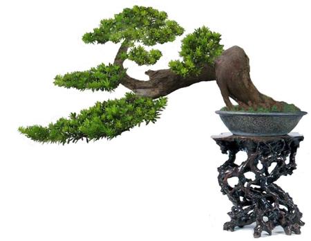 据扬子晚报报道,一盆小叶罗汉松盆景王,价格高达70万元图片